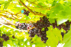 Druiven in wijngaard Royalty-vrije Stock Foto's
