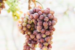 Druiven in wijngaard op onduidelijk beeldachtergrond Stock Foto