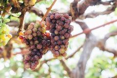 Druiven in wijngaard op onduidelijk beeldachtergrond Stock Fotografie