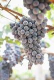 Druiven in wijngaard op onduidelijk beeldachtergrond Stock Afbeelding
