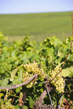 Druiven in wijngaarden Stock Afbeeldingen