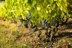 Druiven in wijngaarden vóór oogst Royalty-vrije Stock Afbeelding