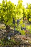 Druiven in wijngaarden vóór oogst Royalty-vrije Stock Foto's