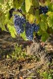 Druiven in wijngaarden vóór oogst Stock Foto