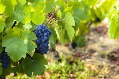 Druiven in wijngaarden vóór oogst Stock Foto's