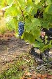 Druiven in wijngaarden vóór oogst Stock Afbeeldingen