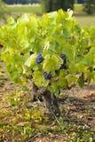 Druiven in wijngaarden vóór oogst Royalty-vrije Stock Fotografie