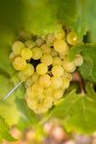 Druiven in wijngaarden vóór oogst Royalty-vrije Stock Foto