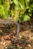Druiven in wijngaarden vóór oogst Stock Afbeelding