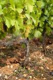 Druiven in wijngaarden vóór oogst Stock Fotografie