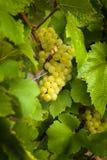 Druiven in wijngaarden vóór oogst Royalty-vrije Stock Afbeeldingen
