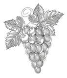 Druiven in wijnoogst gegraveerde stijl Stock Afbeeldingen