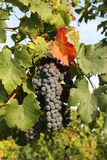 Druiven in wijnstokboom met rood blad Stock Foto
