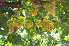Druiven in wijnwerf Stock Fotografie