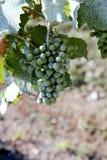 Druiven in wijnwerf Stock Afbeelding