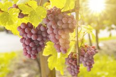 Druiven in zonlicht stock foto
