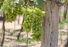Druivenaanplanting royalty-vrije stock afbeeldingen