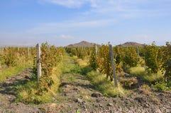 Druivenaanplantingen Lusarat, Armenië Royalty-vrije Stock Fotografie