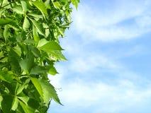 Druivenblad op achtergrondhemel Royalty-vrije Stock Afbeeldingen