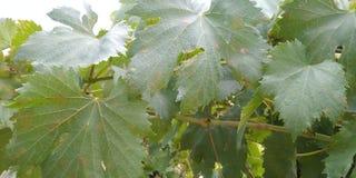 druivenblad in wijngaard royalty-vrije stock afbeeldingen