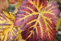 Druivenbladeren Royalty-vrije Stock Foto's