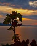 Druivenbladeren bij zonsondergang Stock Foto