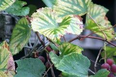 Druivenbladeren tijdens regen Royalty-vrije Stock Afbeelding