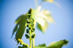 Druivenbladeren tot de hemel Royalty-vrije Stock Foto