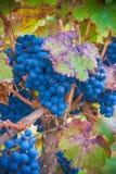 Druivenbos, zeer ondiepe nadruk Royalty-vrije Stock Afbeeldingen