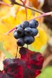Druivenclose-up in de herfst met rode en gele bladeren Royalty-vrije Stock Afbeeldingen