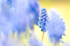 Druivenhyacint stock foto