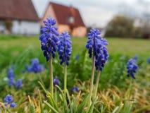Druivenhyacint het groeien voor huizen royalty-vrije stock afbeeldingen