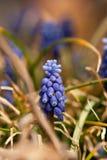 Druivenhyacint met Oranje Gras stock afbeeldingen