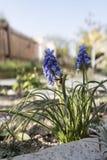 Druivenhyacint in tuin Stock Foto's