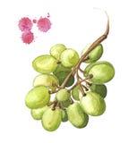 Druivenillustratie, waterverfbos van groene druif Royalty-vrije Stock Foto