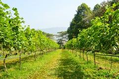 Druivenlandbouwbedrijf Stock Afbeelding