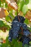 Druivenoogst Landbouwershanden met vers geoogste zwarte druiven de wijngaard in Puglia, is in zuidelijk Italië, in het bijzonder  stock afbeelding