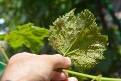 Druivenphylloxera ziekten Druivenphylloxera Phylloxera vastatrix is een ongedierte wereldwijd van commerciële wijnstokken stock afbeelding