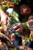Druivenplukker stock foto's