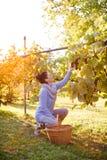 Druivenplukker die op het werk druiven waarnemen Stock Foto