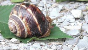 Druivenslak met shell stock footage