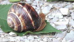 Druivenslak met shell stock video