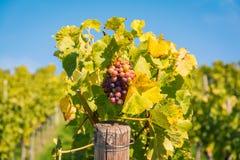 Druivenvruchten de Dalingsbladeren Autumn Farming Agricu van de Close-upwijngaard royalty-vrije stock afbeelding