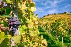 Druivenvruchten de Dalingsbladeren Autumn Farming Agricu van de Close-upwijngaard stock foto's