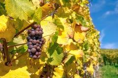 Druivenvruchten de Dalingsbladeren Autumn Farming Agricu van de Close-upwijngaard royalty-vrije stock afbeeldingen