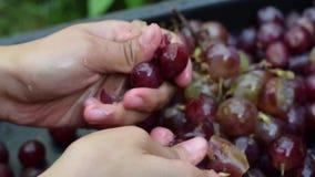 Druivenvruchten huiswijn die het grondige verpletteren van fruit met jonge vrouwelijke naakte handen verwerken stock videobeelden