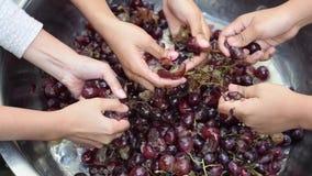 Druivenvruchten huiswijn die het grondige verpletteren van fruit met vele jonge vrouwelijke naakte handen verwerken stock footage