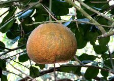 Druivenvruchten van Bangladesh royalty-vrije stock fotografie