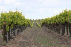 Druivenwijngaard Royalty-vrije Stock Foto's