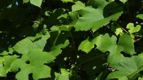 Druivenwijngaard, wijnyard: rijpe druiven op de wijnstok voor het maken van witte wijn De oogst van wijndruiven in Italië Mooie w stock footage